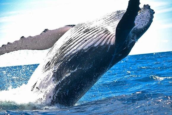 В США кит проглотил человека
